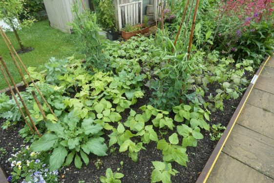 Heritage update: Dwarf French Beans