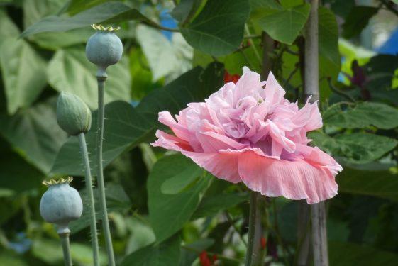 Serpentine in bloom
