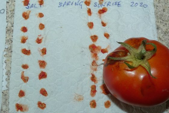 Tomatoes - harvesting, and saving seeds