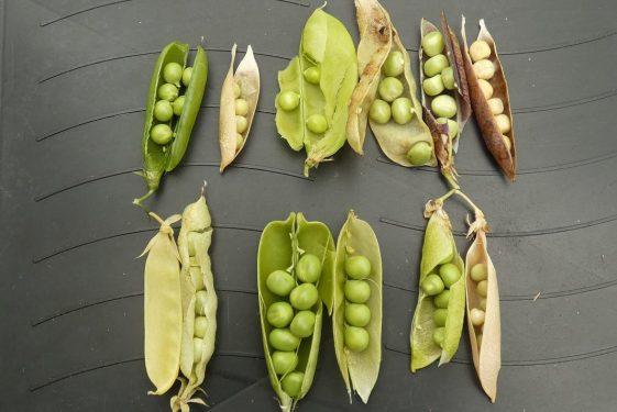 The Pea Harvest