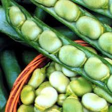 Broadbean harvest