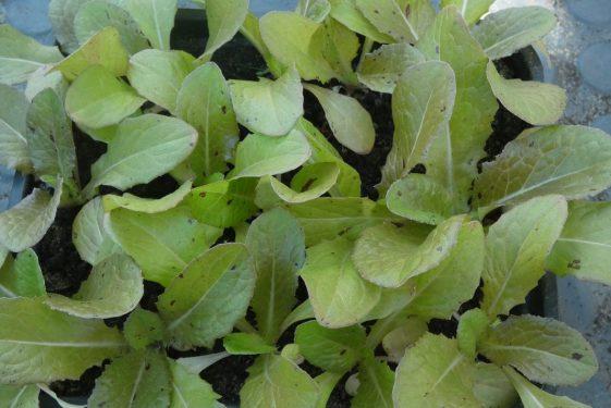 Heritage report - Lettuce