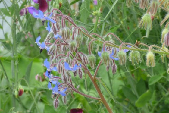 Borage - seed saving