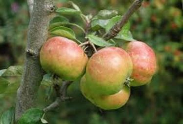 Apples in the community orchard
